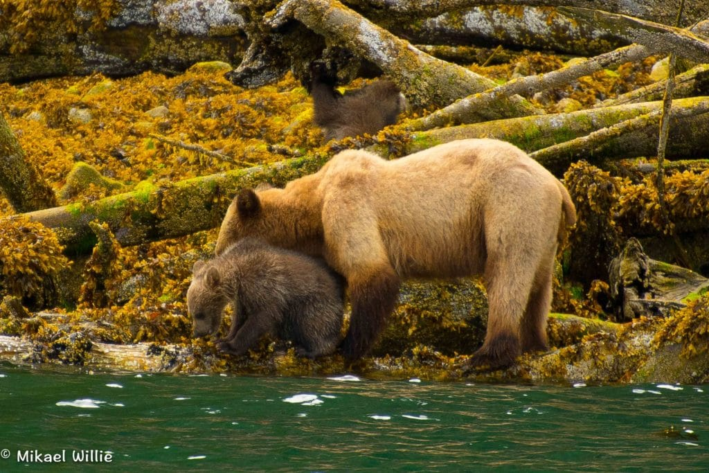 Grizzly bear viewing day trip for the whole family
