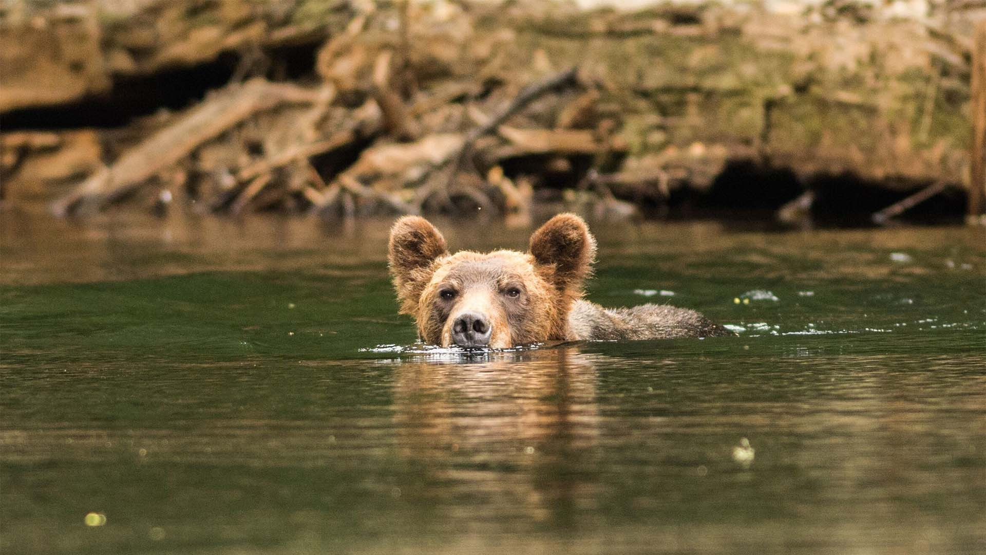 Grizzly Bear Viewing with Sea Wolf Adventures
