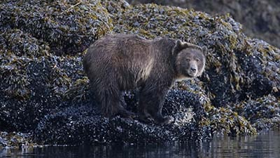Grizzly Bear Viewing - Vancouver Island